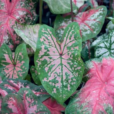 1 Qt. Pink Caladium Plant