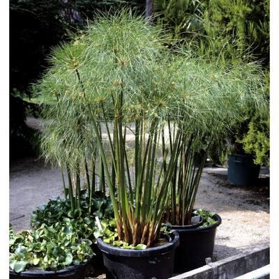 2.5 Qt. Giant Egypt Cyperus Papyrus Grass