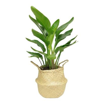 9.25 in. White Bird Plant in Natural Decor Basket