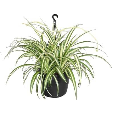 Spider Plant (Chlorophytum) with Creamy White and Green Foliage in 10 in. Hanging Basket Pot