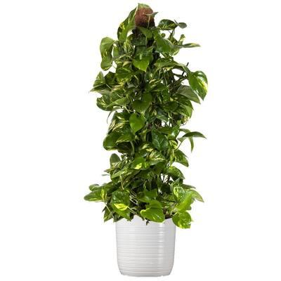 Golden Pothos Totem Plant 36. in to 40 in. Tall in 10 in. White Decor Pot