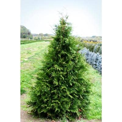 1 Gal. Green Giant Arborvitae Shrub