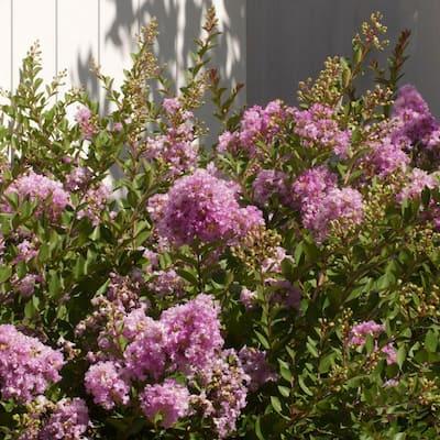 2 Gal. Early Bird Lavender Crape Myrtle, Live Blooming Dwarf Deciduous Shrub