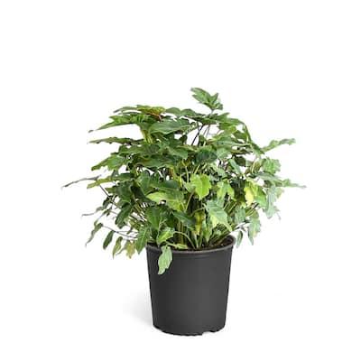 3 Gal. Philodendron Xanadu Indoor Plant