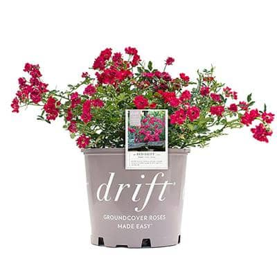 2 Gal. The Red Drift Rose Bush with Red Flowers