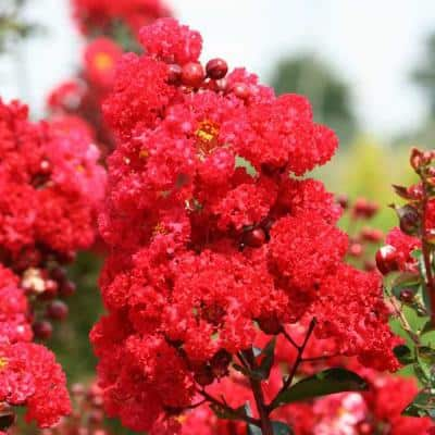 3 Gal. First Editions Ruffled Red Magic Crape Myrtle Tree