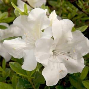 3 Gal. Autumn Ivory Shrub with Bright White Reblooming Flowers