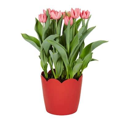 3 Qt. Tulip Forced Bulb Plant