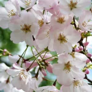 Flowering Cherry, Yoshino