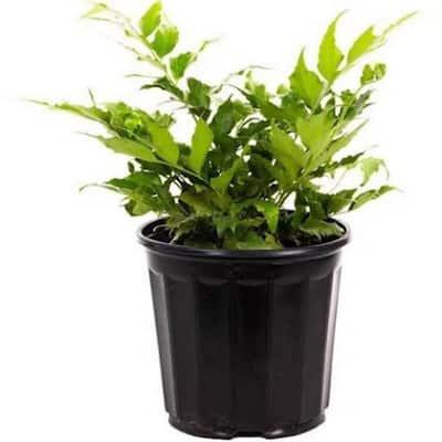 2.5 Qt. Holly Fern in 6.33 In. Grower's Pot (2-Plants)