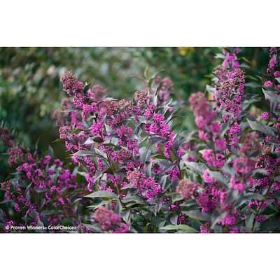 1 Gal. Pearl Glam Beautyberry (Callicarpa)Live Shrub, Dark Purple Foliage and Violet-Purple Berries