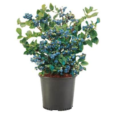 Blueberry Plant - Fruit Plants - Edible Garden - The Home Depot