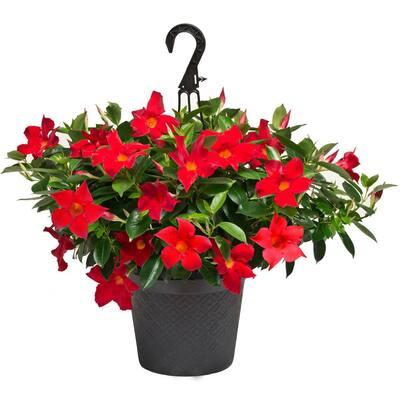 #12 Hanging Basket Dipladenia Flowering Annual Shrub with Red Blooms