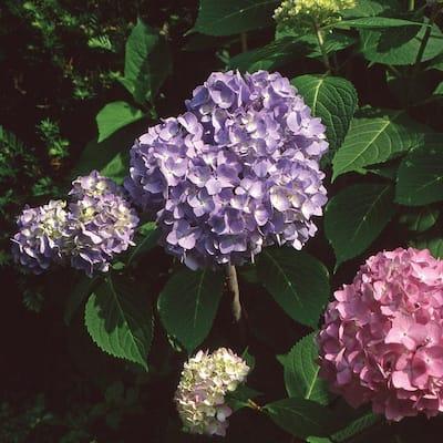 1 Gal. Endless Summer Hydrangea Shrub with Blue Flowers