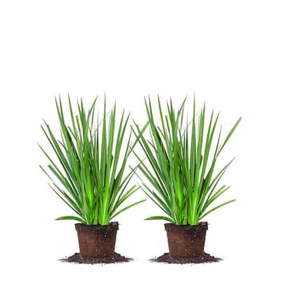 #1 White African Iris Shrub (2-Pack)