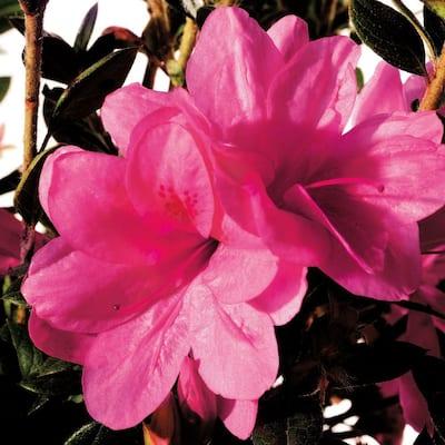 2 Gal. Autumn Empress Shrub with Medium Pink Reblooming Flowers