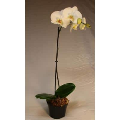 Luna River 5.0 in. Grower Pot White Phalaenopsis Orchid