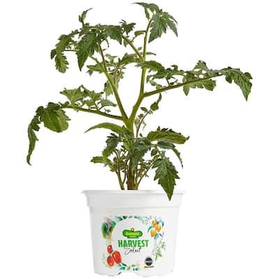 25 oz. Harvest Select Little Sicily Tomato Plant
