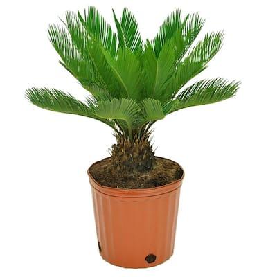10 in. Sago Palm Cycas Premium Plant