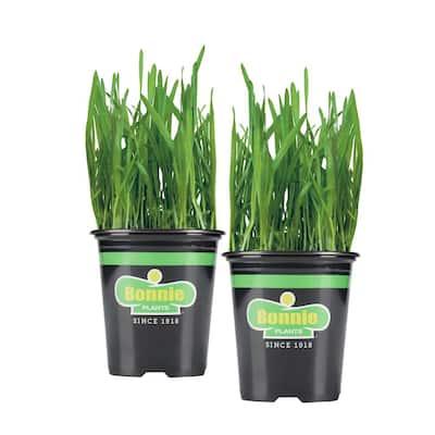 19.3 oz. Pet Grass Plant 2-Pack