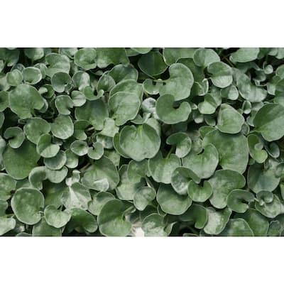 4-Pack, 4.25 in. Grande Silver Falls (Dichondra) Live Plant, Silver-White Foliage