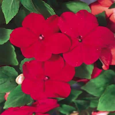 4.5 in. Red Impatiens Plant
