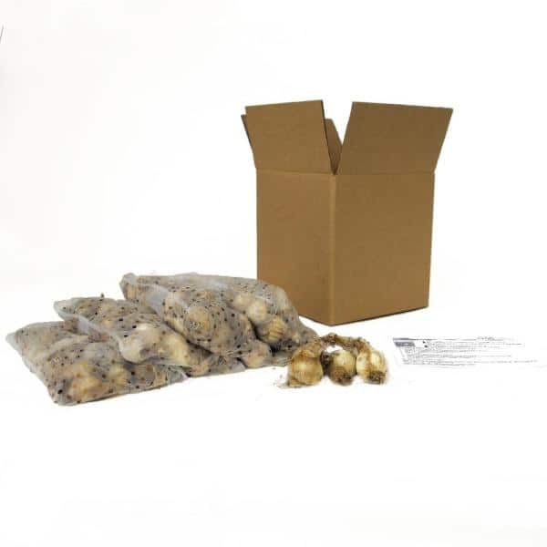 Garden State Bulb Daffodil King Alfred Bulbs 100 Count Pack Hof18 10 The Home Depot