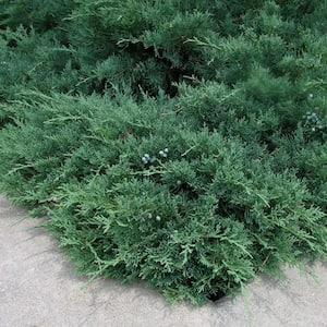 2.25 Gal. Green Sargent Juniper Plant