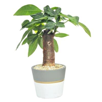 Petite Bonsai in 4.75 in. Ceramic