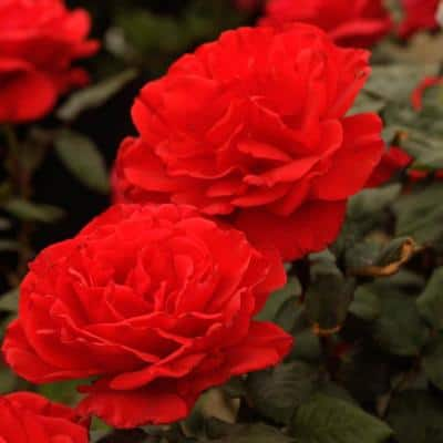 Drop Dead 24 in. Tall Tree Rose, Live Bareroot Plant, Red Color Flowers (1-Pack)