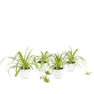 4 in. Spider Plant Chlorophytum Plant in Grower Pot (4-Piece)