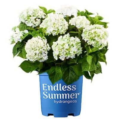 2 Gal. Blushing Bride Hydrangea Plant with Big Round Clusters of Pure White, Semi-Double Flowers