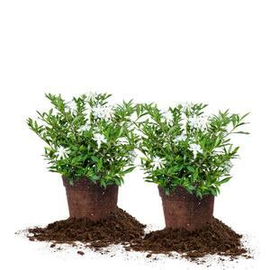 #3 Frostproof Gardenia Shrub (2-Pack)