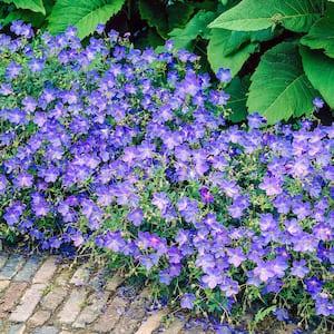 Spring Hill Nurseries Little Miss Sunshine Sedum Live Bareroot Perennial Groundcover Flowers Yellow 1 Pack 80586 The Home Depot