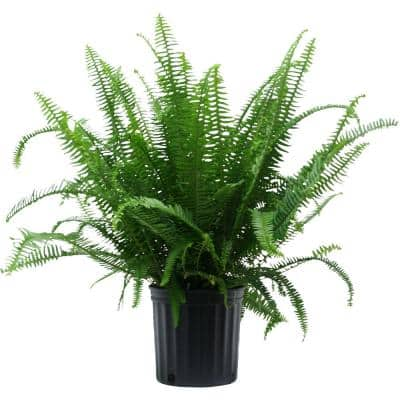 10 in. Fern Nephrolepis Kimberly Plant