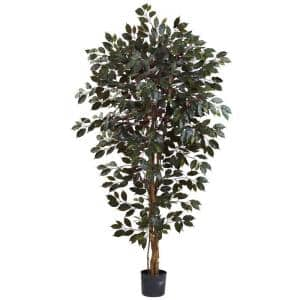 6 ft. Capensia Ficus Tree