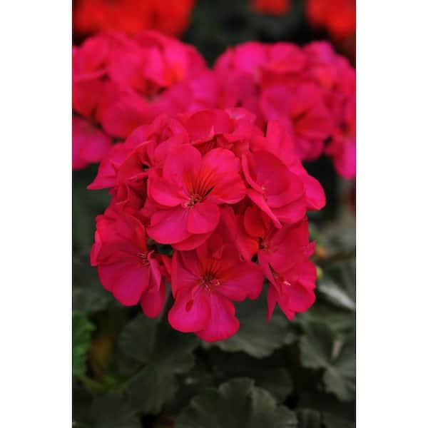 Costa Farms 1 Qt Purple Geranium Flowers In Grower Pot 4 Pack 4geranpurp4pk The Home Depot