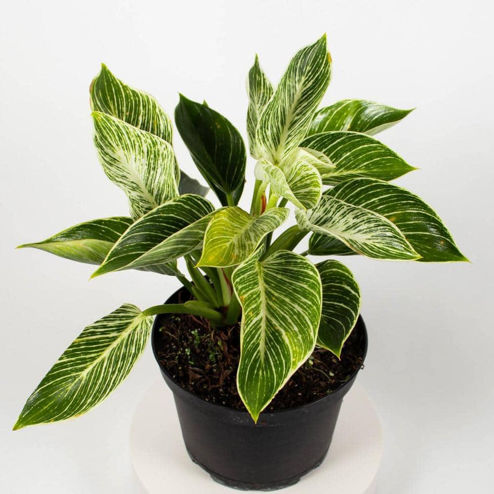 "Birkin Philodendron Berkin indoor shade tolerant live plant in a 6/"" pot"