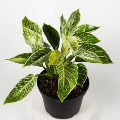 Birkin Philodendron Rare (Araceae) Live Plant in 6 in. Growers Pot