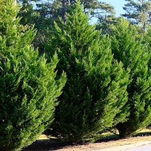 3 Gal. Leyland Cypress Tree