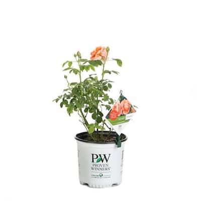 1 Gal. At Last Rose (Rosa) Live Shrub, Orange Flowers