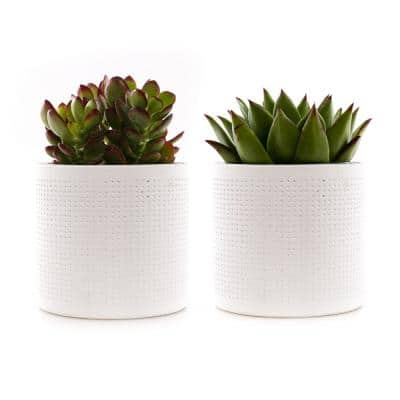 4 in. Assorted Succulent Set in White Dot Pot (2-Pack)