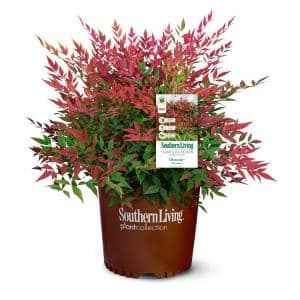 Southern Living 2 Gal. Obsession Nandina Shrub with Bright Red Foliage