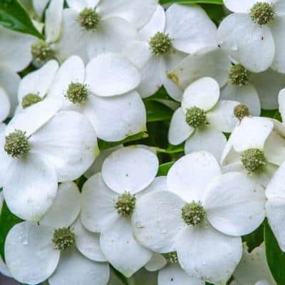 2.5 Qt. Empress of China Dogwood With Creamy White Blooms Live Evergreen Shrub