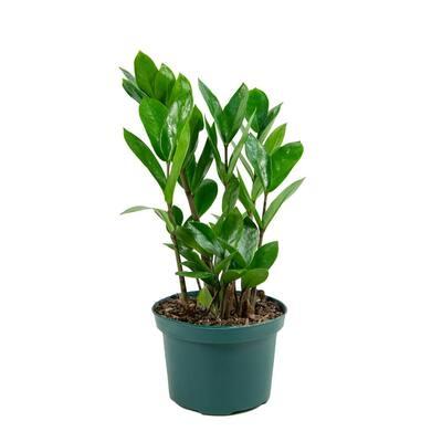 6 In. ZZ Plant Zamioculcas Plant in grower pot
