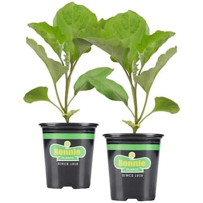 19.3 oz. Black Beauty Eggplant Plant 2-Pack