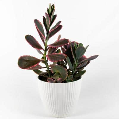 Air Purifying Succulent House Plants Indoor Plants The Home Depot