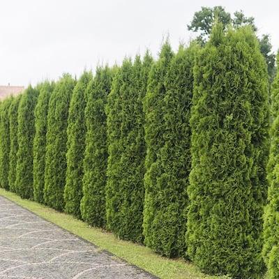 2.5 Qt. Emerald Green Arborvitae(Thuja) Live Evergreen Shrub, Green Foliage