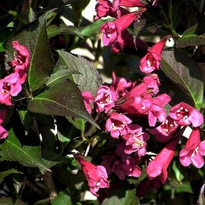 2 Gal. Shining Sensation Weigela, Live Deciduous Shrub, Hot-Pink Trumpet-Shaped Blooms