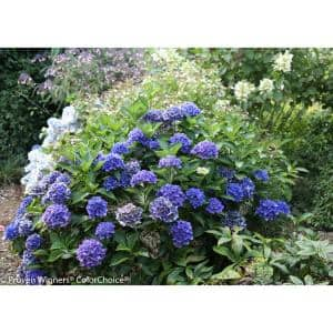 4.5 in. qt. Cityline Venice Bigleaf Hydrangea (Macrophylla) Live Shrub, Pink, Blue and Green Flowers